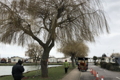 Canvey Tree Pollarding (1)