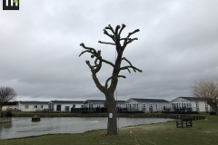 Canvey Tree Pollarding (10)