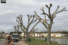 Canvey Tree Pollarding (6)