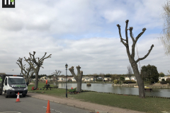 Canvey Tree Pollarding (8)