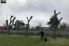 Canvey Tree Pollarding 2 (6)