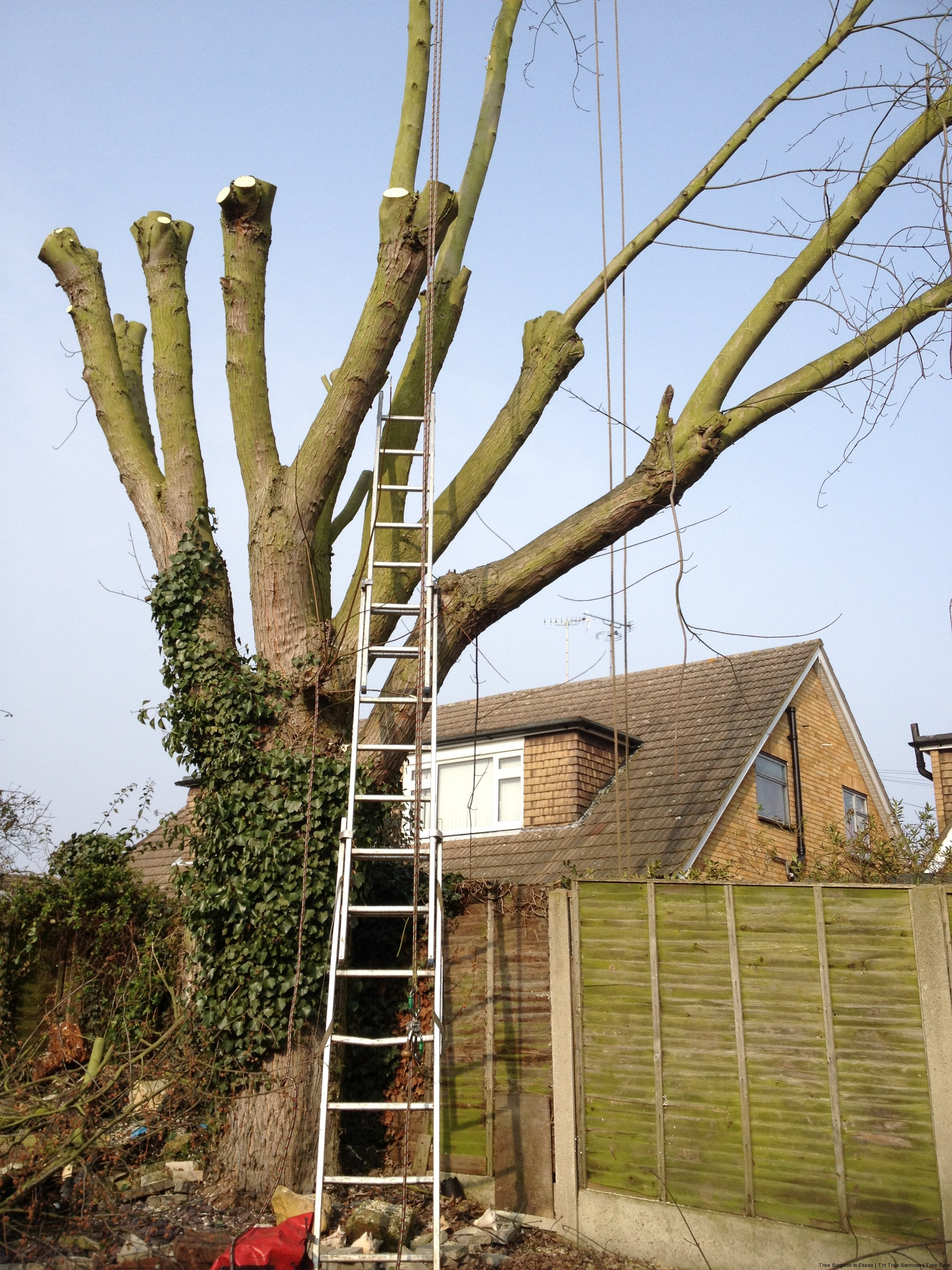 What is tree pollarding essex experts explain