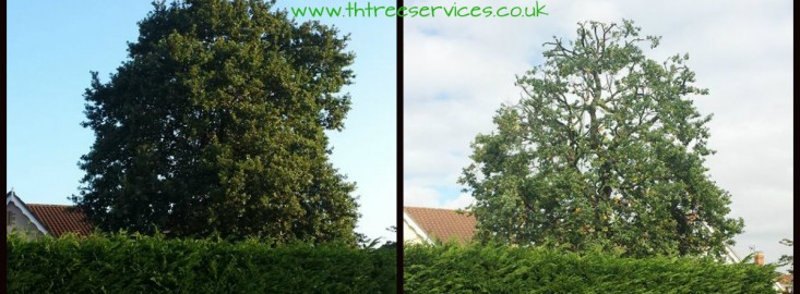 oak tree reduction in wickford