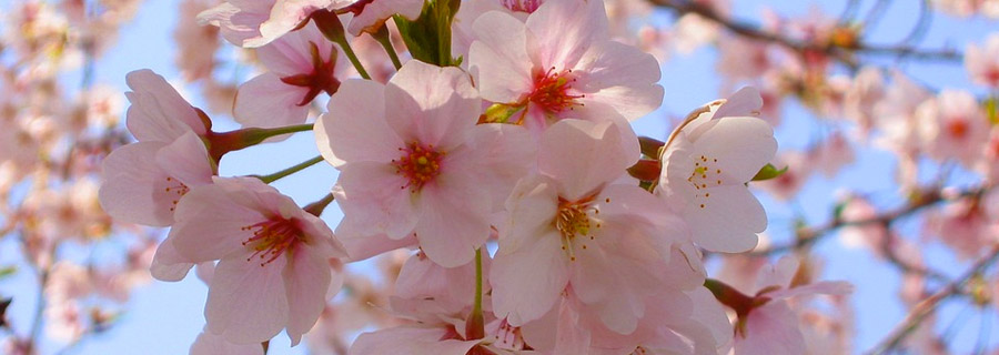 When Is The Best Time To Prune A Cherry Blossom Tree Tree Surgeons Essex T H Tree Services Tree Care